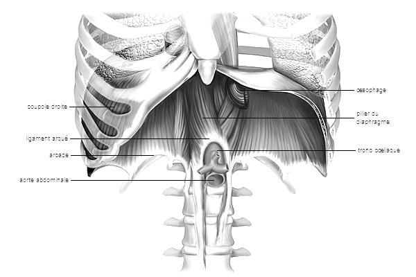 diaphragme osteopathie RDV
